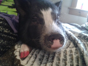 Pancake the Pot Belly Pig