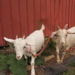 malowany farm goats